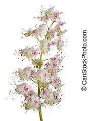 castagna, fiore, sopra, isolato, fondo, bianco