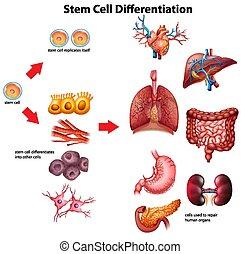 cella gambo, differentiation, diagramma