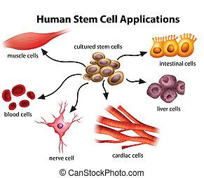 cellula, domande, umano, gambo