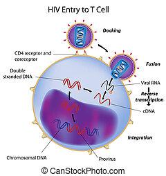 cellula, entrata, t, hiv