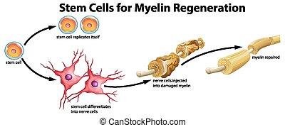 cellula, myelin, gambo, rigenerazione