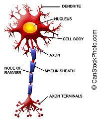 cellula, neurone