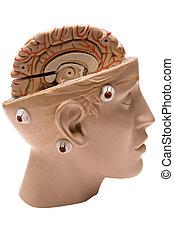 cervello, lato, umano, vista