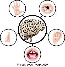 cervello, sensi, cinque