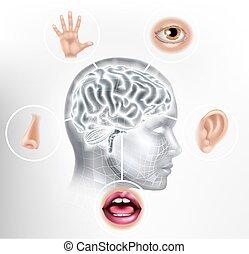 cervello, testa, ia, cinque, faccia, sensi, concetto, umano