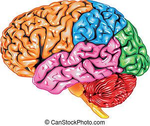 cervello umano, vista laterale
