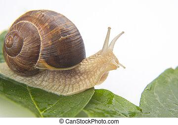 cibo., uva verde, lumaca, pomatia., leaves., mollusco, elica, strisciare, invertebrate., delicatezza, carne, buongustaio