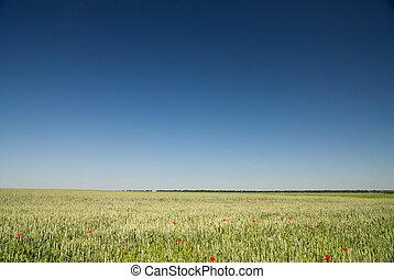 cielo blu, frumento, campo verde