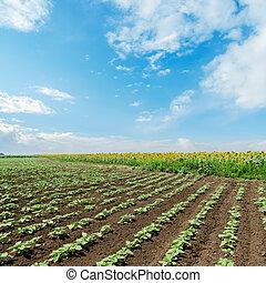 cielo, nuvoloso, campo, girasoli, sotto, verde