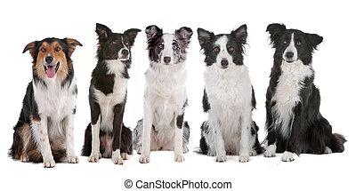 cinque, collie, bordo, cani