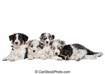 cinque, collie, bordo, gruppo, cuccioli