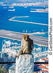 città, macaque, scimmia, sopra, gibilterra
