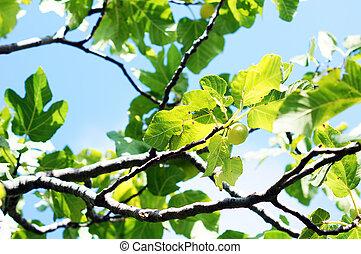 closeup, albero frutta, fico
