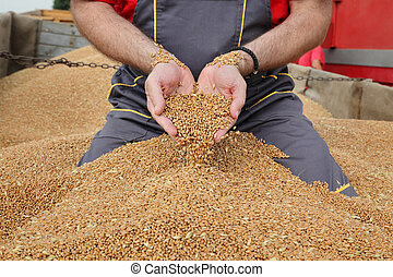 colatura, frumento, agricoltura, raccolto, raccogliere, contadino