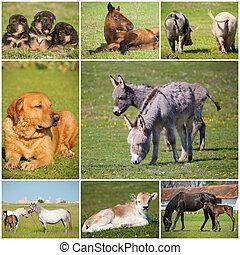 collage, animali fattoria