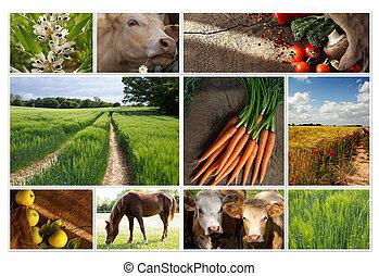 collage, campo, agricoltura, mucche, mele, cibo, frumento, granaglie, produzione