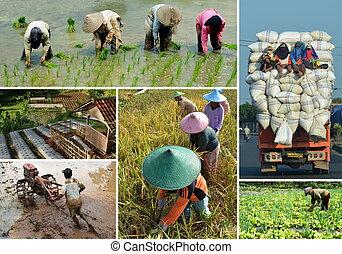 collage, campo, riso, agricoltura