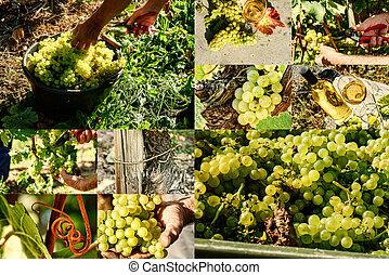 collage, closeup, uva bianca, raccolta