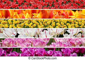 collage, colori arcobaleno, tulips