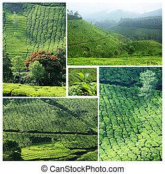 collage, famoso, munnar, piantagioni, tè