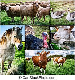 collage, fattoria, vario, animali, agricolo