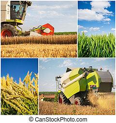 collage, -, raccogliere, frumento