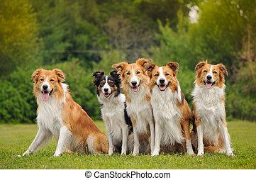 collie, gruppo, cinque, bordo, cani, felice