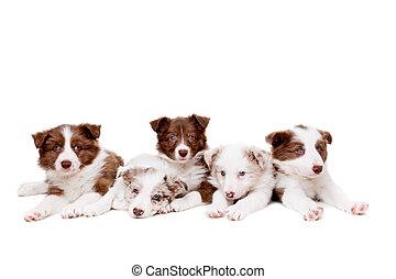 collie, gruppo, cinque, cucciolo, bordo, cani