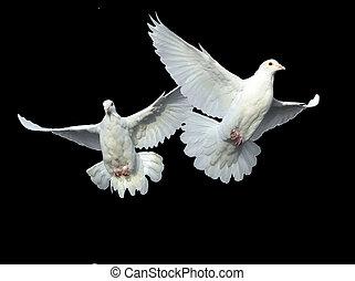 colomba, bianco, volo, libero