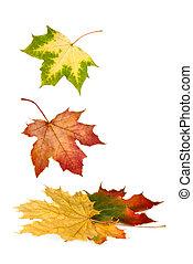 colorito, foglie, giù, cadere, acero