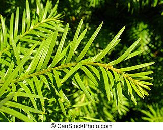 conifero, closeup
