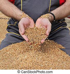 contadino, frumento, agricoltura, raccolto, raccogliere