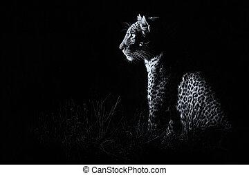 conversione, oscurità, caccia, seduta, leopardo, preda, artistico