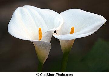 coppia, fiore