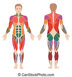 corpo, muscolo