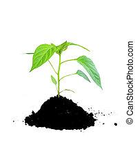 crescente, suolo, pianta, verde
