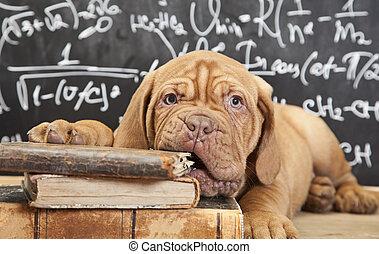 cucciolo, masticazione, libro