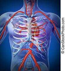 cuore, scheletro umano, circolazione