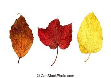 decorativo, autunno, foglie, studio, fondo, cadere, bianco, ancora