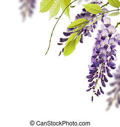 decorativo, wisteria, angolo, foglie, elemento, fiori, fondo., verde bianco, bordo, sopra, pagina