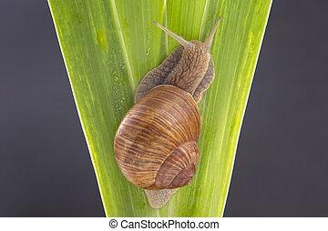 delicatezza, uva, lumaca, carne, strisciare, verde, pomatia., invertebrate., mollusco, cibo., elica, leaves., buongustaio