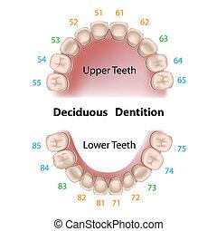 dentale, latte, notazione, denti
