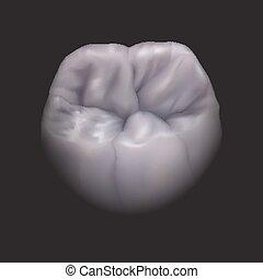 dente, eps10., più basso, molare