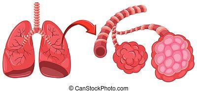 diagramma, pneumonia, zoom, polmoni