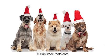 differente, gruppo, cinque, santa, adorabile, cani, allevare