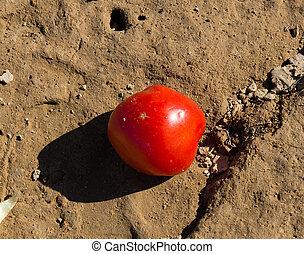 dire bugie, pomodori, rosso, suolo