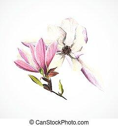 disegno, vettore, mano, matite, immagine, magnolia, colorare