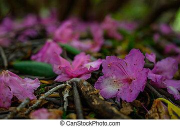 disposizione, rododendro, fiori, suolo