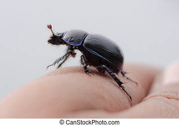 dito, scarabeo