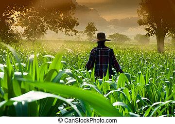 donna camminando, granaglie, contadino, presto, campi, mattina
